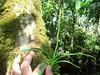 Polystachya foliosa (tropicalgardener1) Tags: forest puerto rico guavate carite 22209