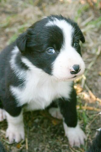 border collie puppies. order collie puppies 3.5