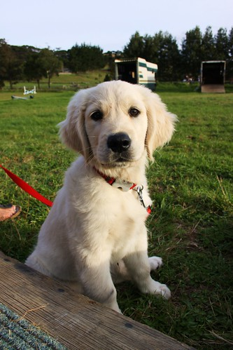 golden retriever pup. Louie, Golden Retriever puppy