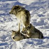 Timberwolves (Hal Trachtenberg) Tags: thumbsup thechallengegame challengegamewinner pfogold thepinnaclehof tuchallenges tphofweek31 gamex3winner