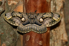 Brahmaea wallichii insulata (Brahmeid Moth) (Arthur Chapman) Tags: taiwan lepidoptera moths tarokogorge insecta buluowan wallichii brahmaeidae taxonomy:class=insecta taxonomy:order=lepidoptera brahmaea geo:country=taiwan insulata geocode:accuracy=200meters geocode:method=googleearth brahmaeawallichiiinsulata taxonomy:family=brahmaeidae taxonomy:genus=brahmaea taxonomy:binomial=brahmaeawallichii taxonomy:trinomial=brahmaeawallichiiinsulata taxonomy:common=brahmeidmoth leadervillagehotel