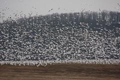 282_17 (lisa_praul) Tags: flock flight middlecreek snowgeese