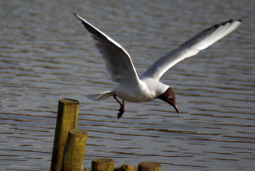 Black headed Gull, Leighton Moss April 2009