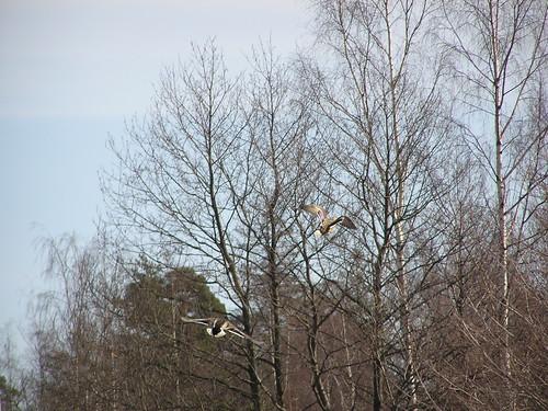 Sorsapari kohoaa ylittääkseen metsän, jonka takana ranta siintää