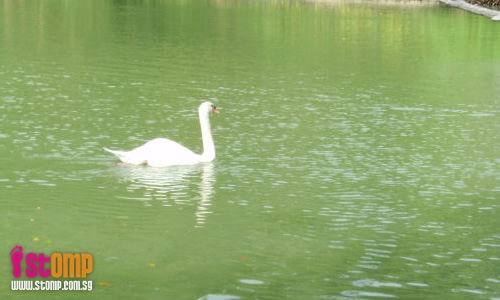 Beautiful swans at the Botanic Gardens