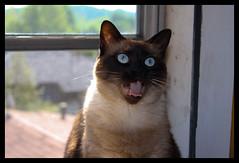 Kirara (Seskia) Tags: blue light pet cats pets black window animal animals cat chats eyes chat coat siamese gatto nero gatti pelo baffi tigrato bestofcats boc0409