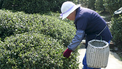 woman picking tea (my paw print) Tags: china tea teapicking
