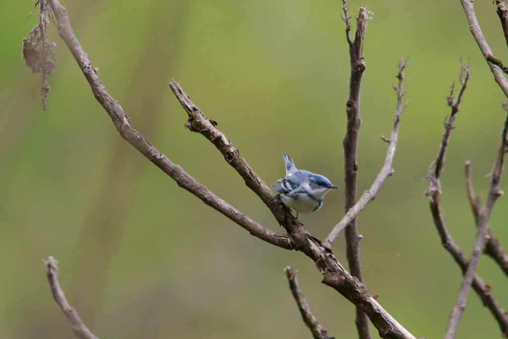 Cerulean Warbler head on, West Virginia