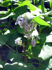 prairie petite lilac year 3