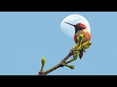 Rufous Hummingbird (David Gn Photography) Tags: moon birds wildlife hummingbirds rosepetal rufoushummingbird coth aplusphoto platinumheartaward flickrlovers 100commentgroup colorsofthesoul canonpowershotsx1is platinumbestshot bestcapturesaoi