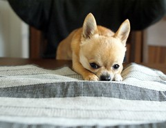 I am sulky because I cannot get the cookie. (kanonyobo) Tags: dog chihuahua explore kanon