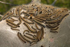 tent caterpillars (chasdobie) Tags: worms armyworms insect bugs animalarchitecture ontario notyournormalbug caterpillars tentcaterpillars westport web canada animalplanet leedsandgrenville outdoor