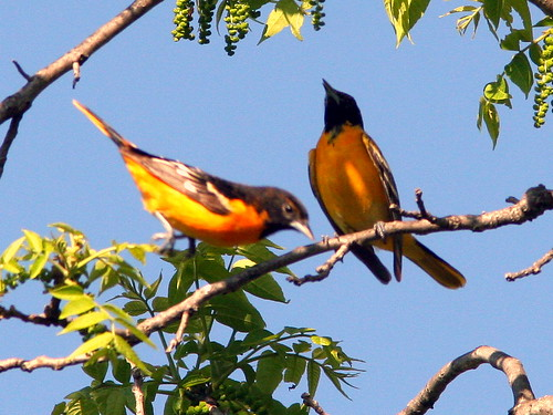 Male Orioles Interacting 20090518