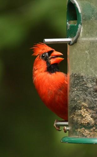 Northern Cardinal - 5/10/2009