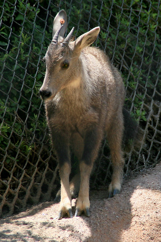 wild animals of  chinese goral photos information