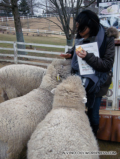 The sheep wont stop chasing Rachel once they knew she have food