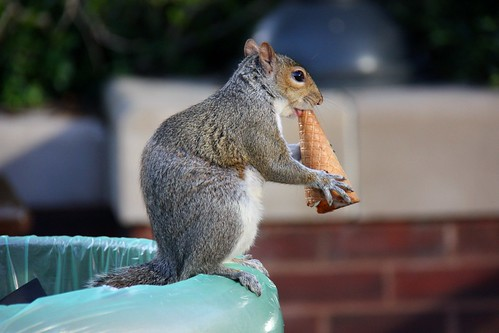 Squirrel eating an ice cream cone