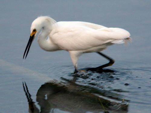 Snowy Egret 20090523
