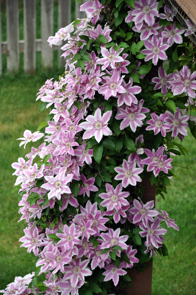 clematis nice
