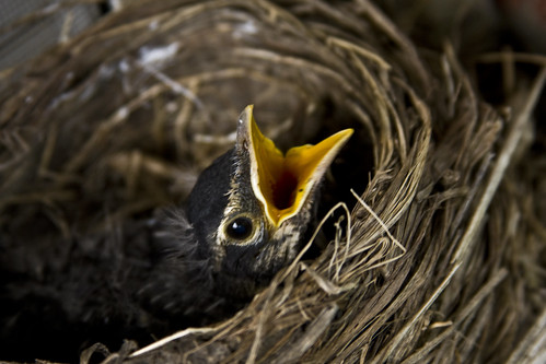 Robin's Nest (Young robin A)