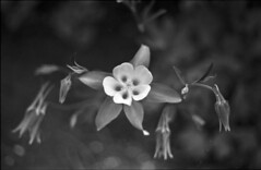 Flower (Michael Kalus) Tags: canada flower vancouver bc rodinal 2009 agfaapx100 canoneos1vhs epsonv700