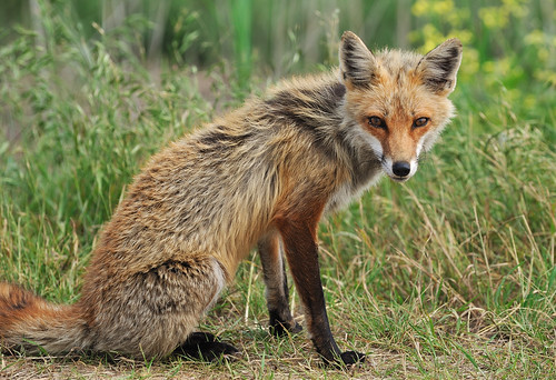 Red Fox, Chloe