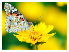 Butterflay on the flower yellow 3 (Bruna Zavattiero) Tags: flower color yellow meg giallo fiore colori farfalla vanessacardui butterflay vanessadelcardo thebestmacrophotos
