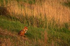 fox (V31S70) Tags: helsinki fox vuosaari