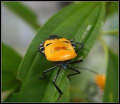 Man Face Bug (stardex) Tags: green animal yellow bug garden insect leaf wildlife manface