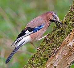 Jay (Andrew Haynes Wildlife Images) Tags: bird nature log jay wildlife avian ghiandaia brandonmarsh canon7d ajh2008