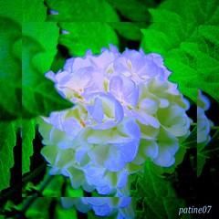 amusement  avec une fleur du jardin  Amusement with a flower of the garden (les ralisations de patine07) Tags: flowers blue white france green nature fleurs garden natural jardin vert bleu blanche lesralisationsdepatine07