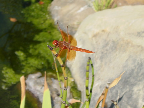 Dragonfly closeup 2