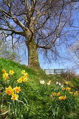 (ombre chimique) Tags: uk flowers blue england sky tree yellow lumix nationalpark spring peakdistrict panasonic april daffodils springtime bamford dmcfx500