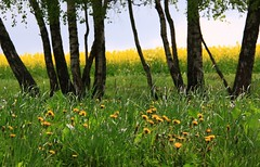 (:Linda:) Tags: flower yellow germany village meadow wiese thuringia dandelion gelb wildflower raps baum canola rapeseed taraxacum lwenzahn blumenwiese yellowwildflower brden wildblumenwiese treesinspring bumeimfrhling baumimfrhling