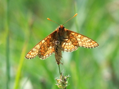 Marsh Fritillary (5)