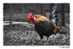 DeeK ;p (Suli_77) Tags: rooster kuwait q8 deek deech  suli77