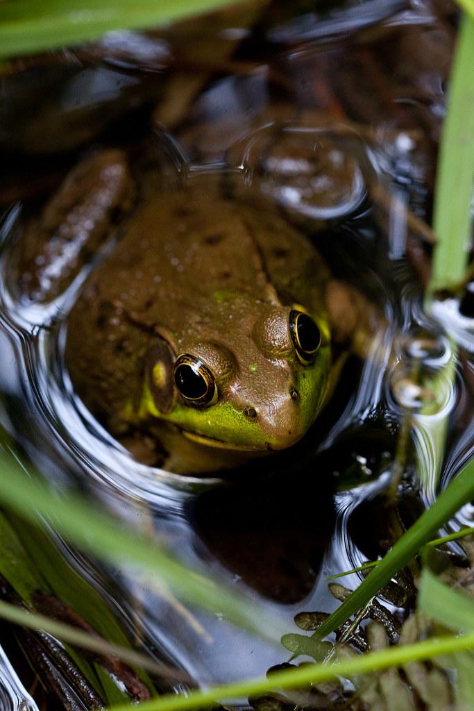 Frog at the NCBG #2