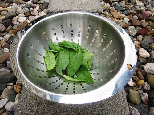 Basil leaves in colander, take one