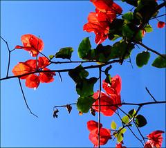 Beautiful bougainvillea continuing to bloom against the clear blue Aegean sky (Eirini Papadaki) Tags: flora colours bougainvillea greece chora cyclades naxos
