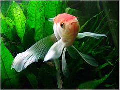 Ballerina Goldfish (jo92photos) Tags: goldfish fish aquarium tank fins swimming fancygoldfish goldfishballerina ©allrightsreserved water myfuji macro jo92photos jo92 england s100fs goldstaraward vosplusbellesphotos 15challengeswinner
