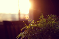 Shine On Me (: c a l v i n a :) Tags: light sunset plant fern green window leaves glow flare goldenhour explore33