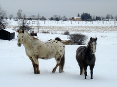 """One Snowy Day at the Farm"" (Clara Hinton) Tags: winter horses snow farm farmlife winterscene beautysecret omot worldofanimals concordians clarahinton mallmixstaraward horsesandsnow peregrino27newvision"