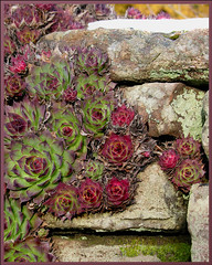 """Wonderwall"" (Magic_moments..) Tags: winter plant nature wall succulent stones burns warts medicinal henandchicks sempervivum houseleek otw cherryontop insectbites platinumphoto impressedbeauty theunforgettablepictures betterthangood dragonflyawards"