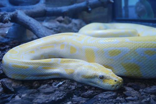 Albino boa or python