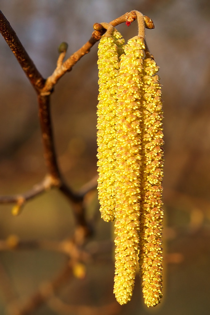 Spring flowers 16: The Common hazel.