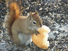 **************Thank's Lily************** (Lily C.) Tags: canada animal bread pain squirrel newbrunswick cureil lilyc