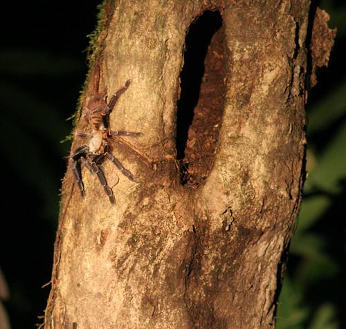 Borneo Tarantula