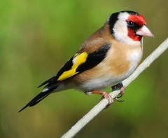 A Goldfinch....with thanks to Terry and Ros (keithhull) Tags: bird garden colours zoom bokeh goldfinch explore finch naturesfinest askwith sooc mywinners colorphotoaward theperfectphotographer explorewinnersoftheworld vosplusbellesphotos seeninexplore14420093