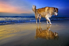 Just me and that other dog (Gilad Benari) Tags: ocean sunset sea dog reflection cute art beach wet print poster israel telaviv sand lonely dogeatdog telavivbeach giladbenari photosofdogs photosofisrael