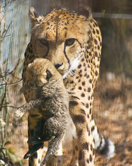 Cheetah mum and tiny cub (ingelisesoerensen) Tags: baby animal cat zoo cub mum newborn cheetah ebeltoft zooanimal ree babyanimal cheetahcub addictedtoflickr babycheetah vosplusbellesphotos flickrbigcats addictedtophotograph